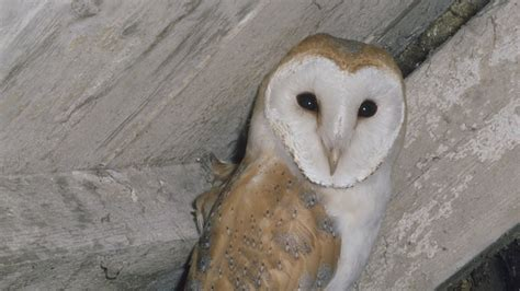 Barn Owl Breeders by The Rspb Barn Owl