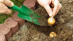 Blumenzwiebeln Richtig Setzen : tulpenzwiebeln pflanzen tulpenzwiebeln im herbst pflanzen ~ Lizthompson.info Haus und Dekorationen