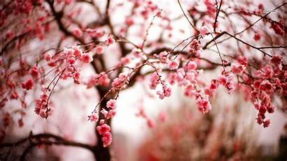 Cherry Blossom Flower Blossoms Background Wallpapers Flowers