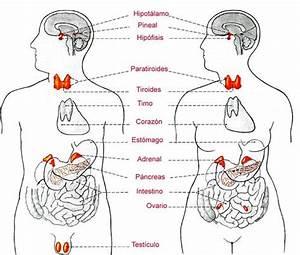 Sistema endocrino WikicharliE