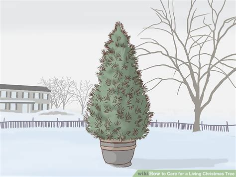 taking care of christmas trees how to care for a living tree with pictures wikihow