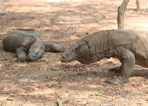 visit komodo island   trip  indonesia audley travel
