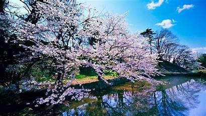 Blossom Cherry Trees Wallpapers Tree Blossoms Sakura