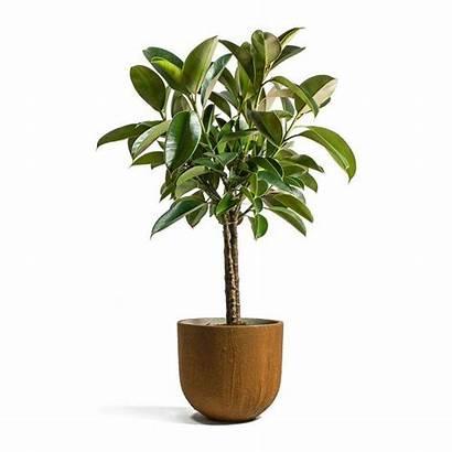 Plant Rubber Stem Ficus Multi Pot Cody