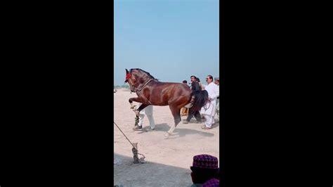 tok tik horse pakistan india