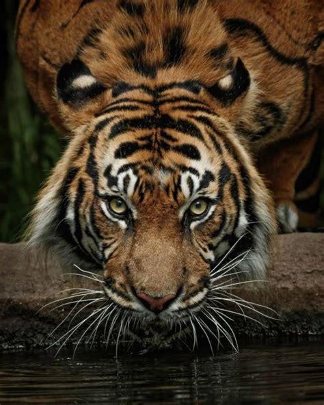 tigers  tumblr