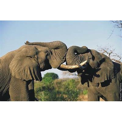 National Geographics: african elephant