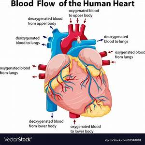 Diagram Showing Blood Flow In Human Heart Vector Image