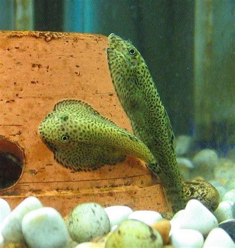 aquarium fishes names  pictures unique freshwater