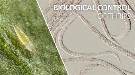 Biological Control Of Thrips  Steinernema Feltiae Youtube