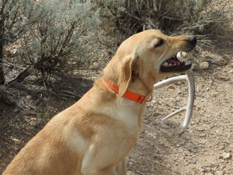 shed dogs utah shed horn fininding labs best gun dogs