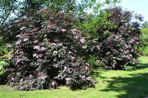 sambucus nigra black 174 schwarzer holunder pflanzen null bruns website garten