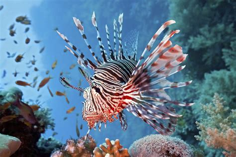 lionfish problem invasive dangerous eating sea invasion fishing explores idea ecological study most creatures florida reefs taken removal predators population