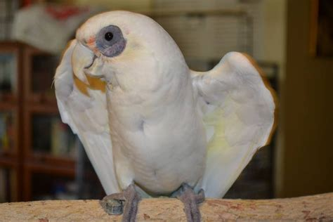 zoey bare eyed cockatoo available for adoption florida