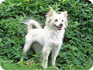 Winnie | Adopted Dog | Valparaiso, IN | Pomeranian ...