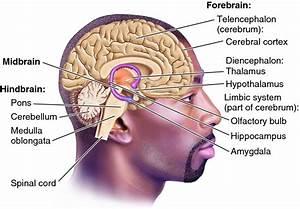 Triune Brain Black Man  U2013 Center For Adolescent Studies