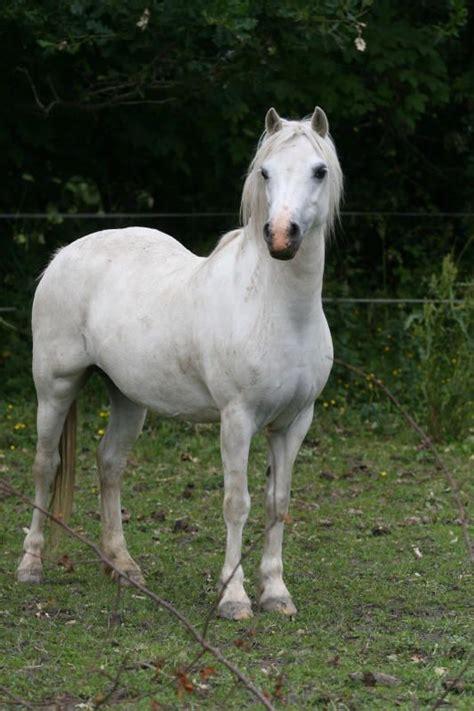 clausholm stud welsh mountain welsh ponies haestar