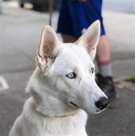 White German Shepherd Husky Mix