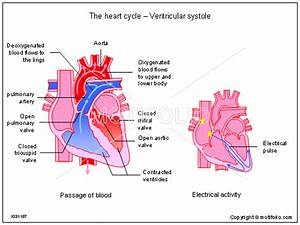 The Heart Cycle
