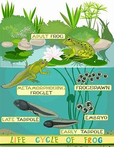 Life Cycle Of Frog Stock Vector  Illustration Of Frogspawn