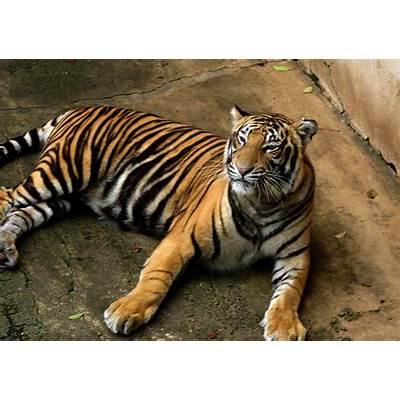 Royal Bengal Tiger - Facts Profile Photos