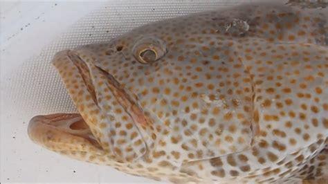 hammour fishing grouper