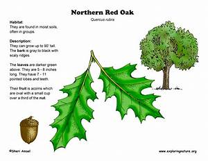 Oak  Northern Red