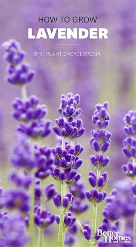 how to plant lavendar growing lavender gardens floral pinterest