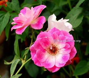 Pink Flowers Gallery 2, Pink flowers names and pictures