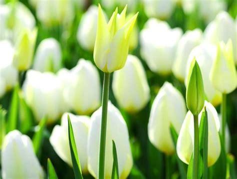 mengenal  hal  gambar bunga tulip  sejarahnya