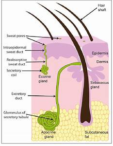 Basic Structure Of Sweat Glands  The Eccrine Sweat Gland