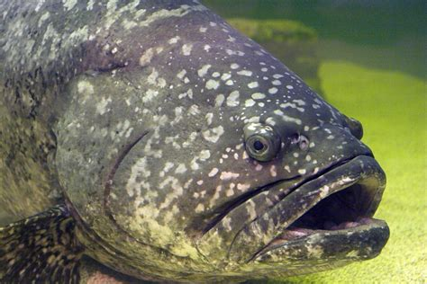 sea grouper goliath bass largest lb texas lake member creative commons gordon clinton robertson itajara epinephelus jackson charles usa center