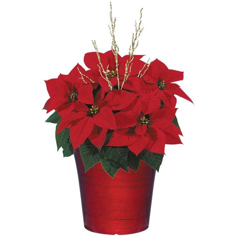 poinsettias christmas plants flowers indoor