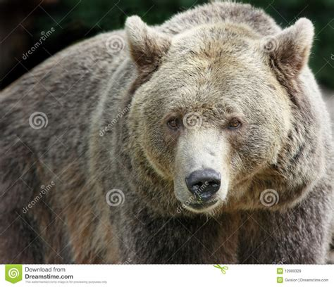 Brown Bear Royalty Free Stock Images  Image 12989329