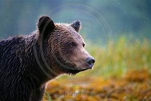 Grizzly Bear In Profile
