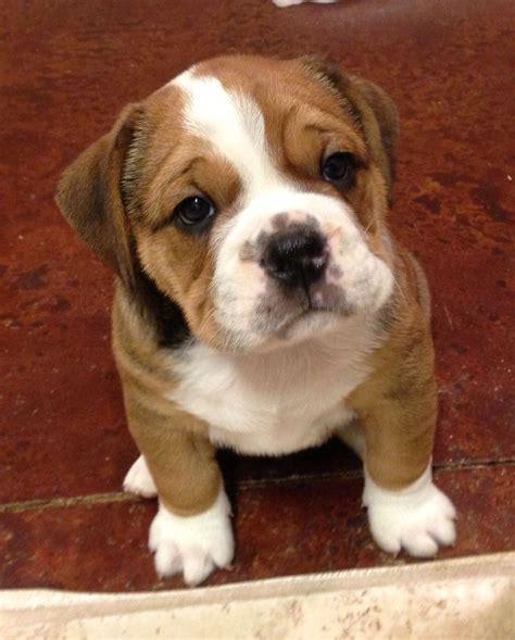 beagle  bulldog beabull bull basenji puppy