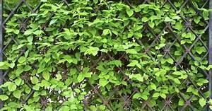 sichtschutz mit kletterpflanzen mein schoner garten With garten planen mit zimmerpflanzen kletterpflanzen
