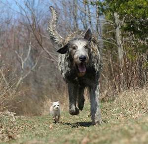 The Irish Wolfhound | ProPuppy