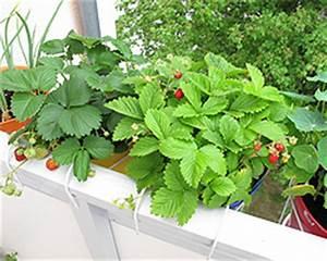 Erdbeeren Richtig Pflanzen : erdbeeren auf dem balkon standort pflege pflanzen ~ Lizthompson.info Haus und Dekorationen