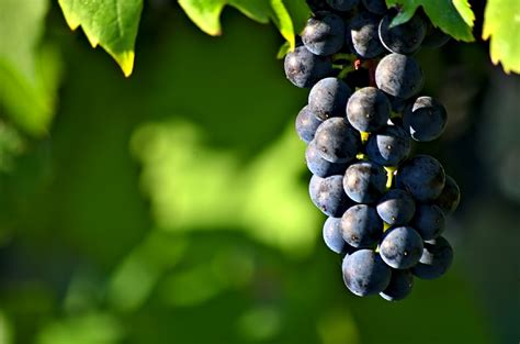 Free Photo Grapes Cluster Ripe Harvest Free Image On