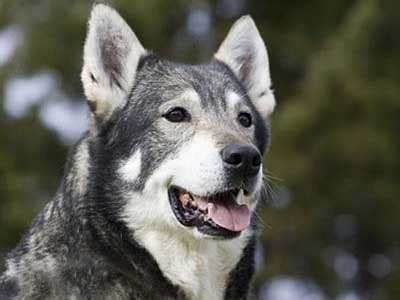 jamthund swedish elkhound information characteristics