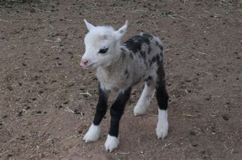 Goat Sheep Hybrid Geep Born At Us Petting Zoo Daily Star