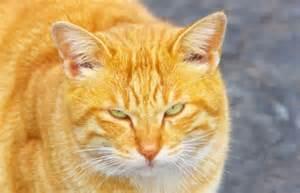 orange tiger cat the heaven sent tabby cat guideposts