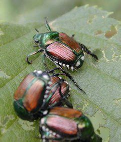 best way to get rid of japanese beetles pin by lizzie bennet on entomology pinterest