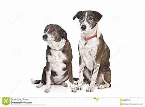 Two Brown And White Mixed Breed Dogs Stock Image - Image ...