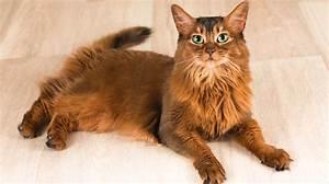 Somali Cats