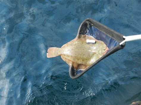 winter flounder ru fish tracking