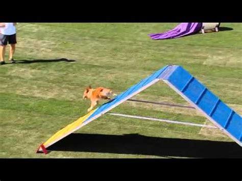 small dog agility  purina incredible dog challenge