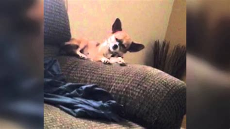 sleepy dog falls  couch youtube