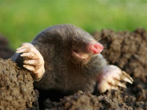 kill moles myreporter com is it against the law to kill moles in north carolina